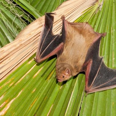 Columbus Bat Removal
